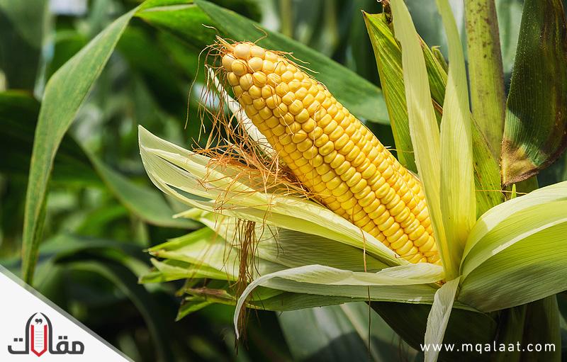 فوائد الذرة الصحية والجمالية