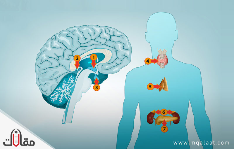 بحث عن الغدد الصماء