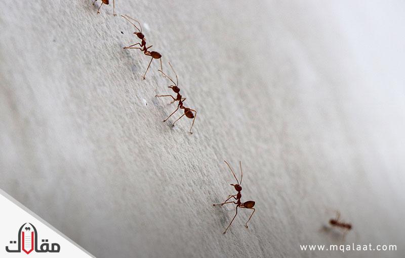 أفضل طريقة لإبعاد النمل عن المنزل