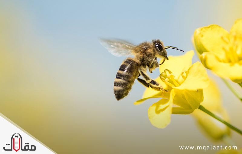 معلومات عن النحل